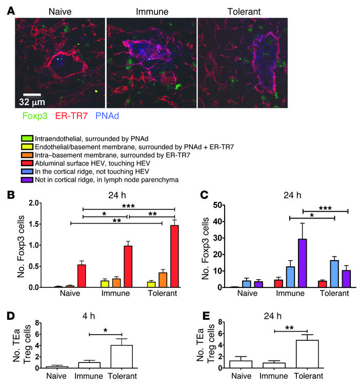 Regulatory CD4+ T cells home to the cortical ridge following the inducti...