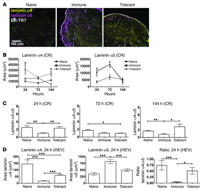 Laminin α5 and laminin α4 are differentially induced following the induc...