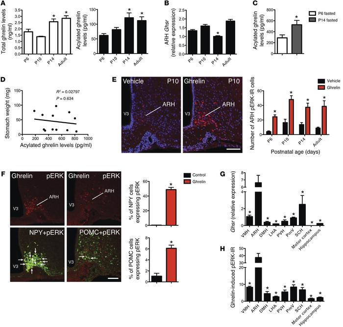 Ghrelin signaling in neonatal ARH neurons. (A) Total plasma ghrelin leve...