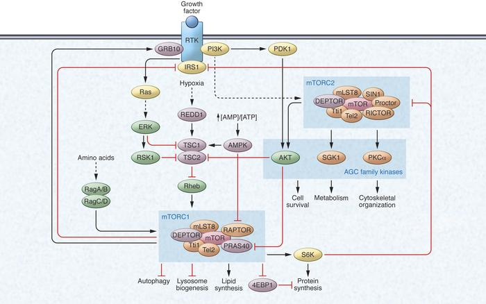 The mTOR signaling network. mTOR forms two distinct signaling complexes,...