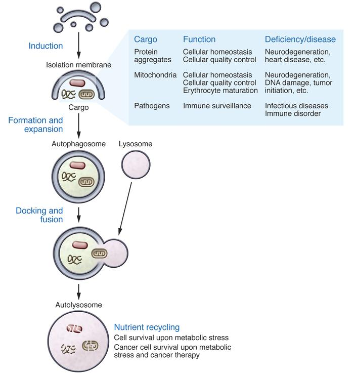The autophagy pathway and its role in biology and diseases. Schematic of...