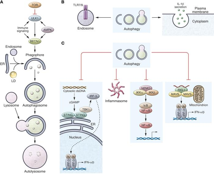 Autophagy modulates inflammation. (A) Autophagy — a simplified pathway. ...