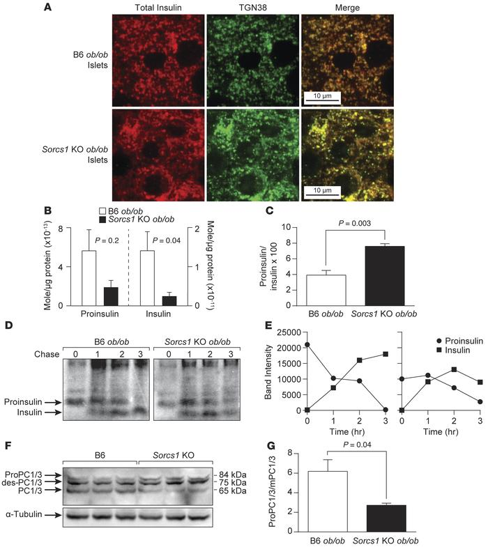 Loss of Sorcs1 impairs proinsulin and proPC1/3 processing and increases ...
