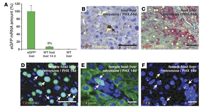Transplanted eGFP+ HSCs contribute to liver regeneration in WT host rats...