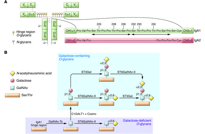 IgA1 structure and O-glycosylation pathway. (A) Structure of monomeric I...