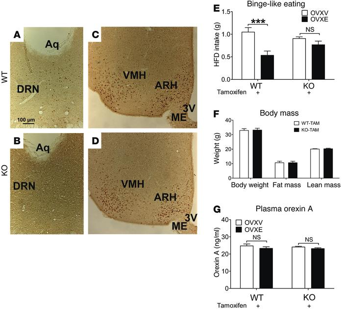 ERα in 5-HT neurons mediates estrogenic actions to inhibit binge-like ea...