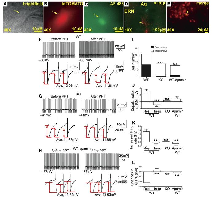 An ERα agonist activates DRN 5-HT neurons. (A–C) Brightfield (A), fluore...