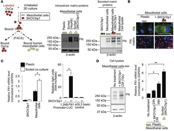OvCa cells stimulate fibronectin expression in mesothelial cells. (A) Le...