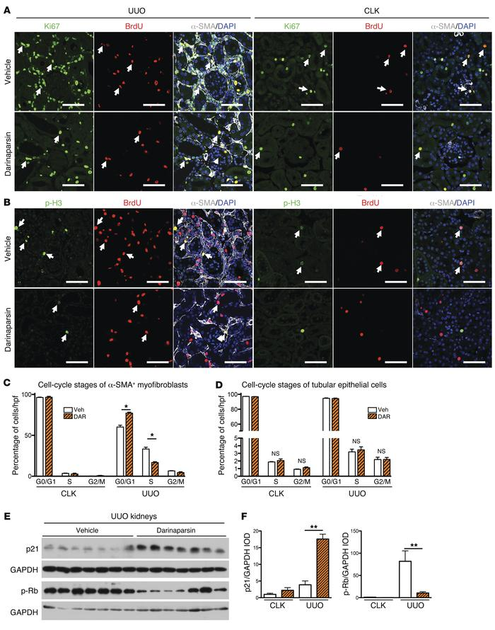 Darinaparsin induces myofibroblast-specific cell-cycle arrest, but does ...