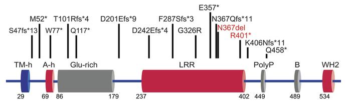 LMOD3 mutations in patients with LMOD3-NM. Schematic of LMOD3 (NP_938012...