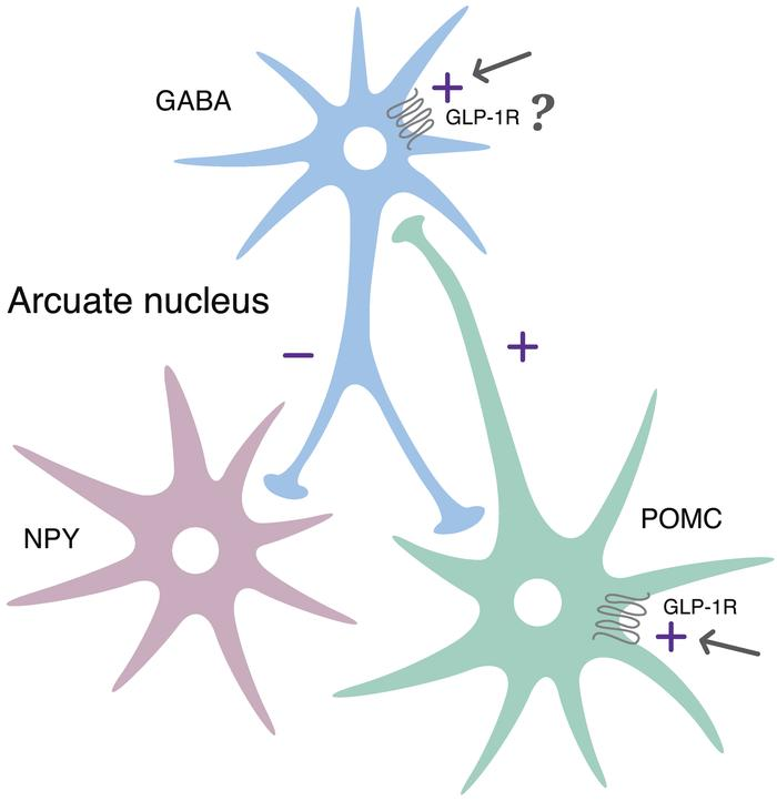 Proposed regulation of neuronal activation by liraglutide. Summary diagr...