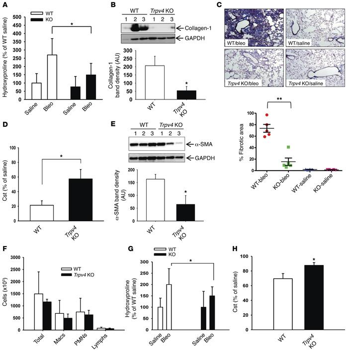 Trpv4 KO mice are protected from the profibrotic effects of bleomycin. W...
