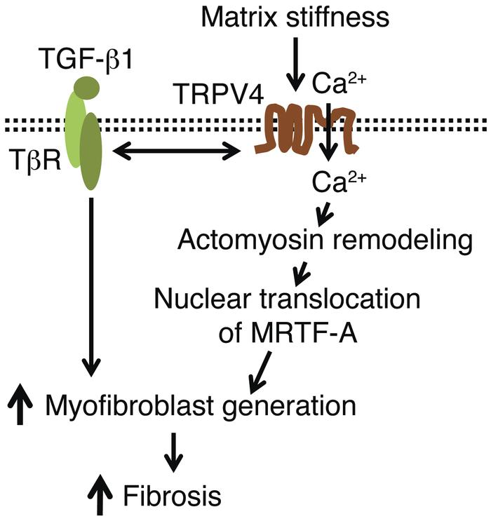 Schematic model showing the mechanistic pathway by which TRPV4 mediates ...