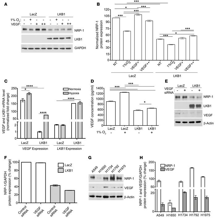 LKB1 attenuates NRP-1 expression in a VEGF-independent manner. (A and B)...