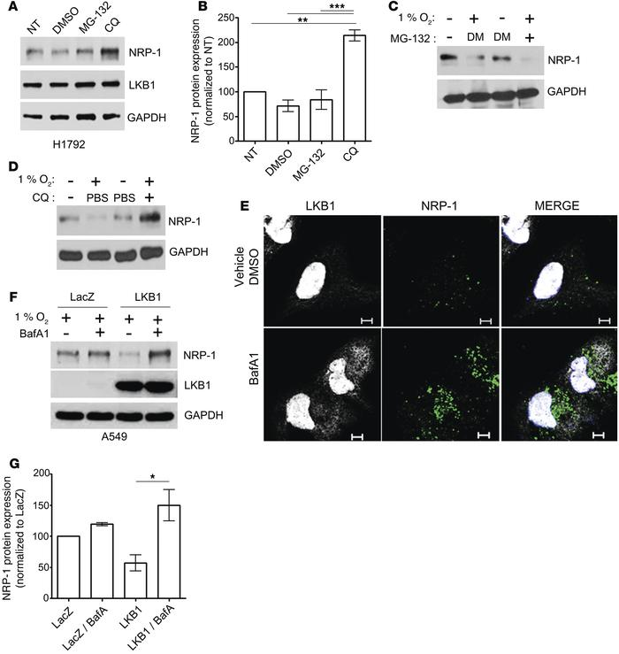LKB1 promotes lysosome degradation of NRP-1. (A and B) Inhibition of maj...