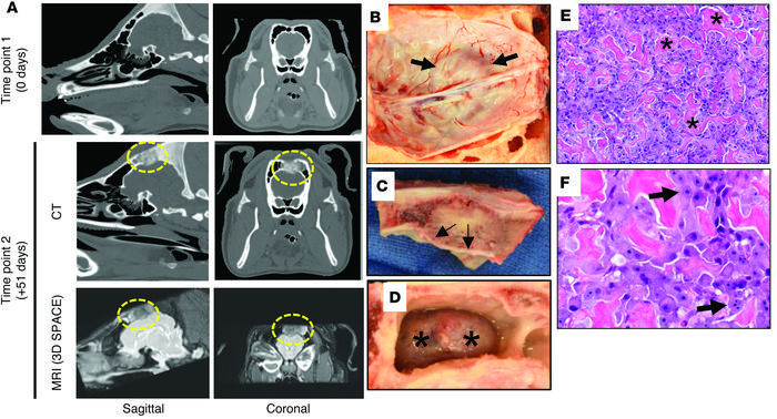 Osteogenic tumor a in a TP53R167H/R167H pig. In vivo imaging of case 6 w...