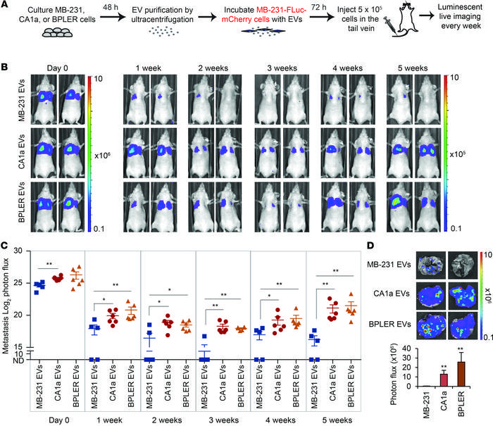 EVs from human metastatic CA1a and BPLER cells promote colonization of M...