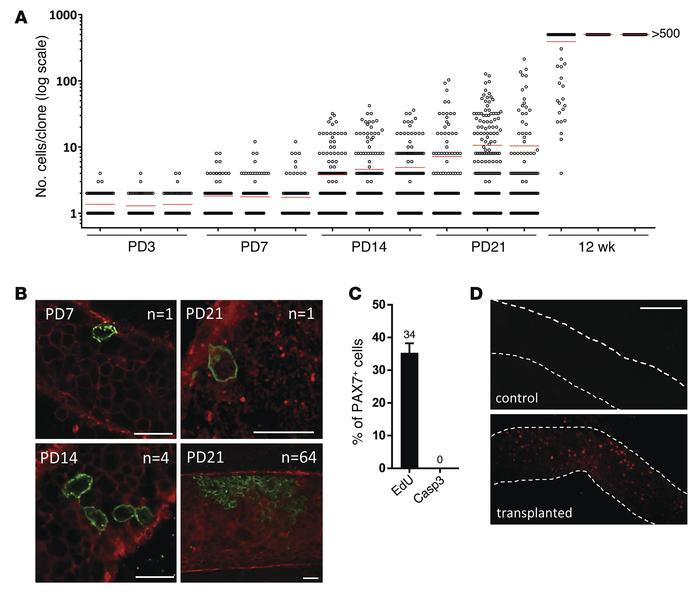 PAX7+ spermatogonia have long-term stem potential in vivo, and their des...