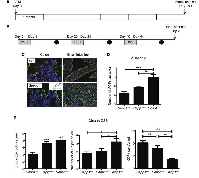 Absence of SEPP1 exacerbates tumorigenesis in response to AOM and injury...