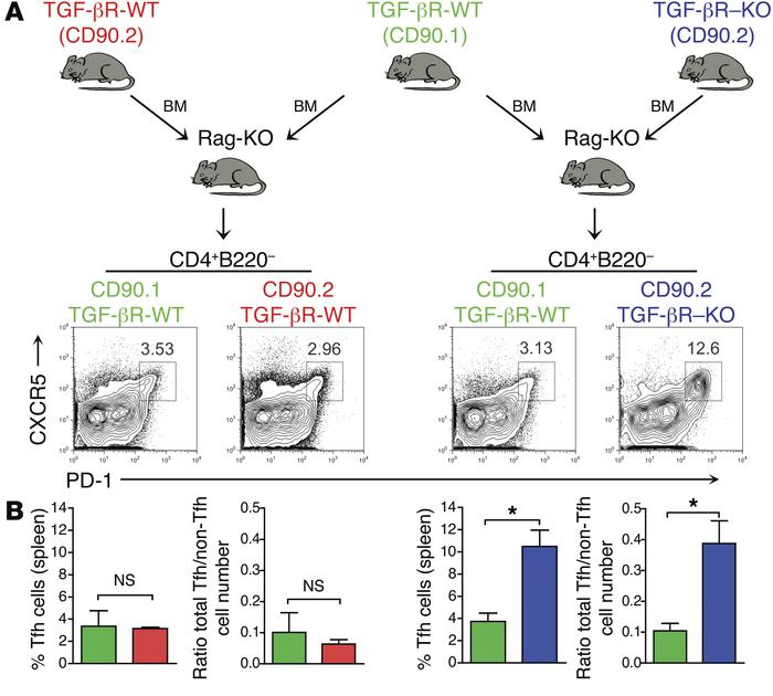 Uncontrolled Tfh cell accumulation was not controlled by CD8+ Tregs. (A ...