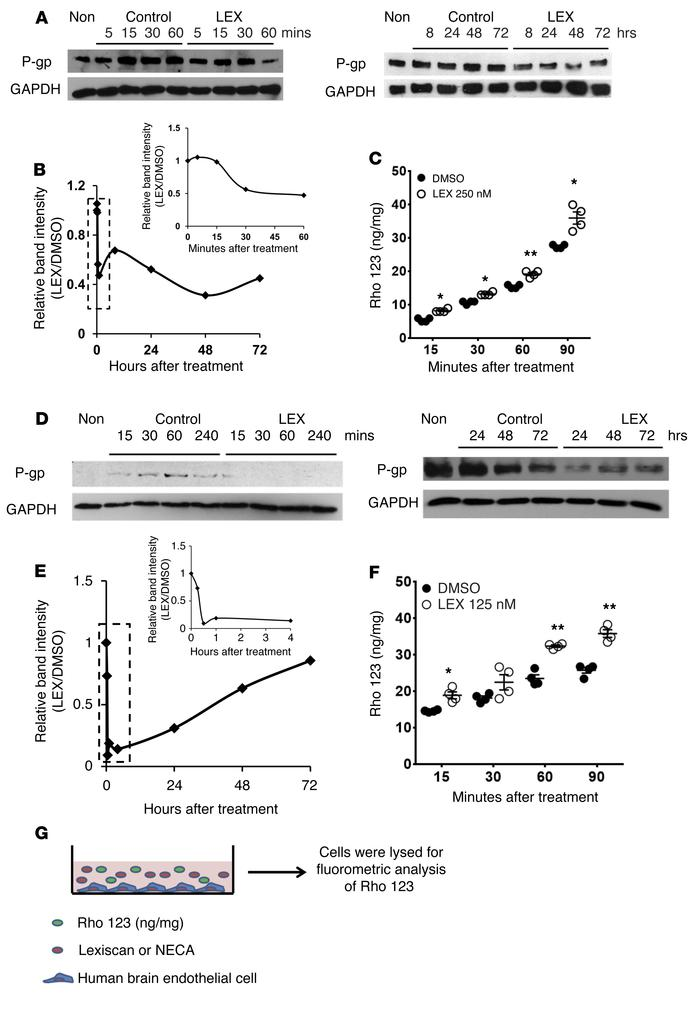 Activation of A2A AR downmodulates P-gp expression and function in human...