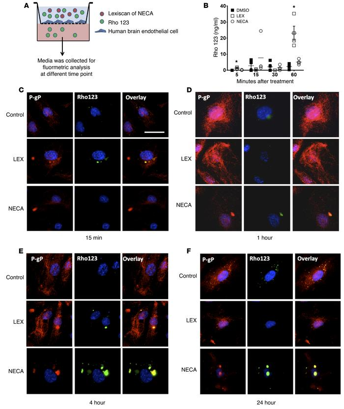 Activation of A2A AR by Lexiscan induces rapid transmigration of Rho123 ...