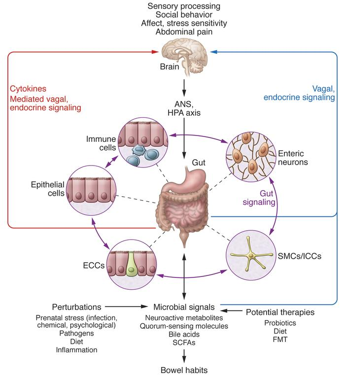 Bidirectional interactions within the gut microbiota/brain axis. A netwo...