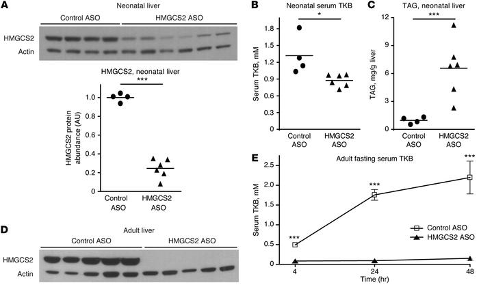 Ketogenic insufficiency in mice treated with HMGCS2 ASO. (A) Immunoblot ...
