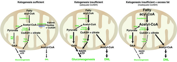Model of hepatic maladaptation to ketogenic insufficiency. Under homeost...