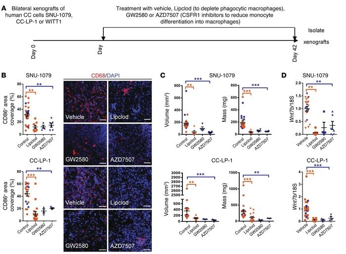 Macrophage ablation in human CC cell xenografts reduces tumor penetrance...