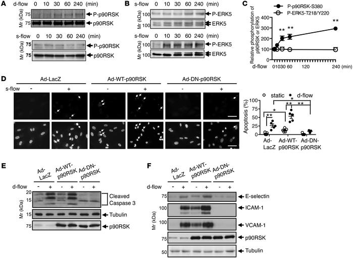 Role of p90RSK activation in d-flow–induced apoptosis and inflammation. ...