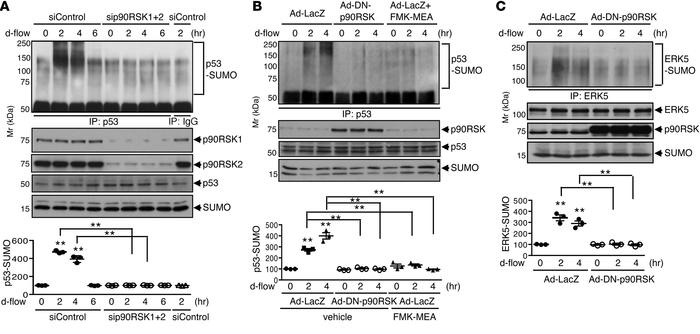 Depletion of p90RSK abolishes d-flow–induced p53 and ERK5 SUMOylation. (...