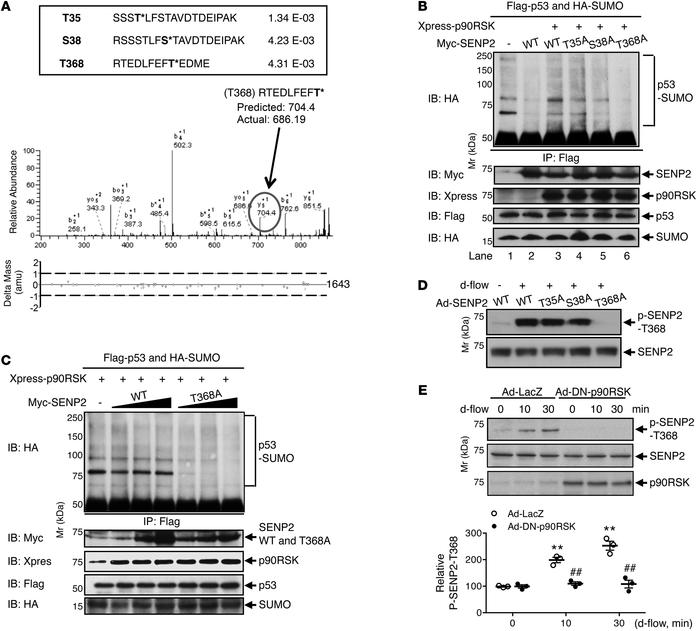p90RSK-mediated SENP2-T368 phosphorylation is critical for p53 SUMOylati...