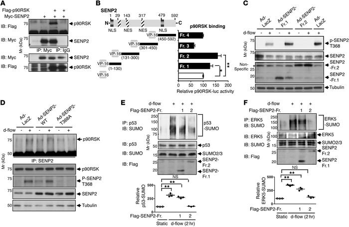 p90RSK-SENP2 association is critical for p53 and ERK5 SUMOylation. (A) H...