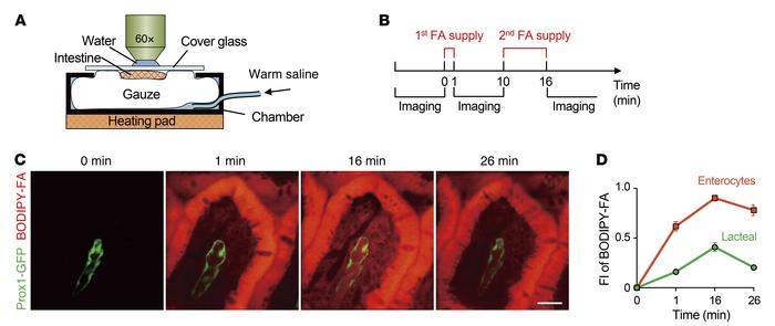 Intravital imaging to monitor FA absorption and clearing. (A) Schematic ...