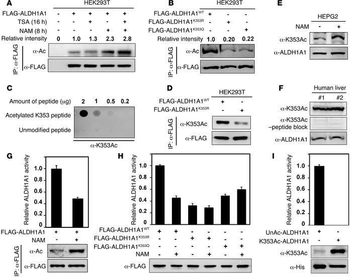 Acetylation at Lys-353 decreases ALDH1A1 enzyme activity. (A) ALDH1A1 wa...