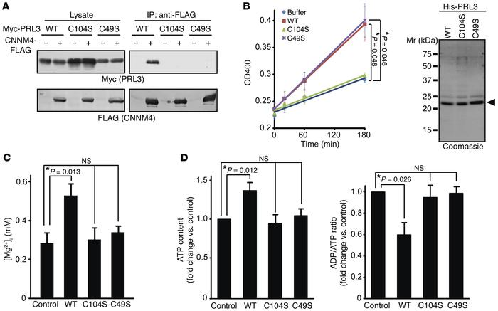 Characterization of PRL3 Cys mutants. (A) Lysates of COS7 cells transfec...