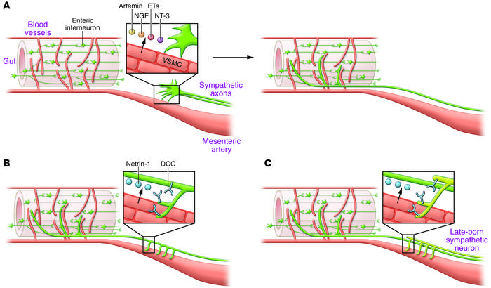 Sympathetic innervation of the gut and mesenteric arteries. (A) Vascular...