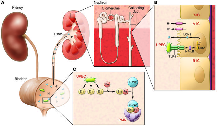 A-ICs defend against urinary pathogens. (A) Overview of the urinary syst...