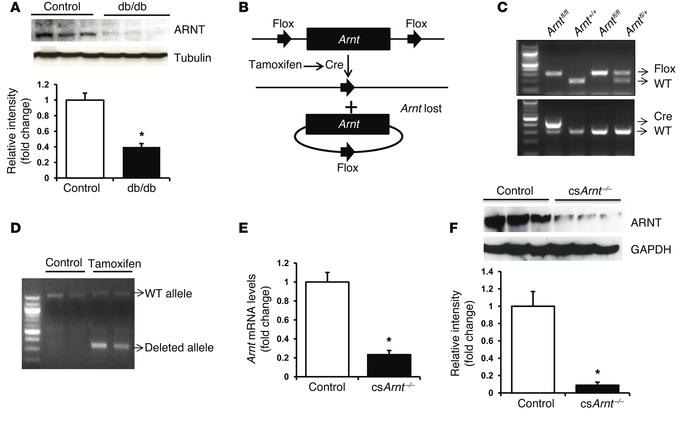 Generation of cardiac-specific knockout of ARNT. (A) Western blot of ARN...