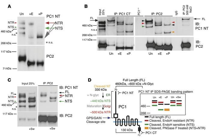 Processing, complexing, and localization of PC1 and PC2. (A) Immunoblot ...