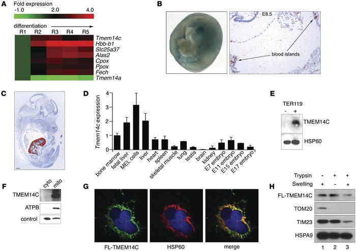 TMEM14C is enriched in differentiating murine erythroid cells and locali...