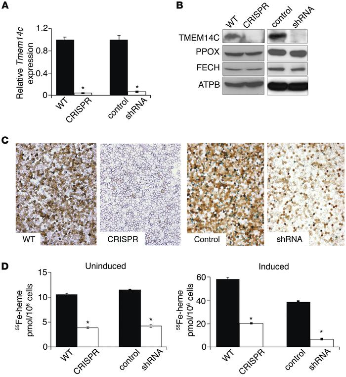 TMEM14C is required for heme synthesis in murine erythroid cells both ba...