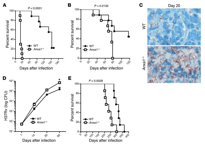 Anxa1–/– mice are highly susceptible to Mtb infection. (A and B) Surviva...