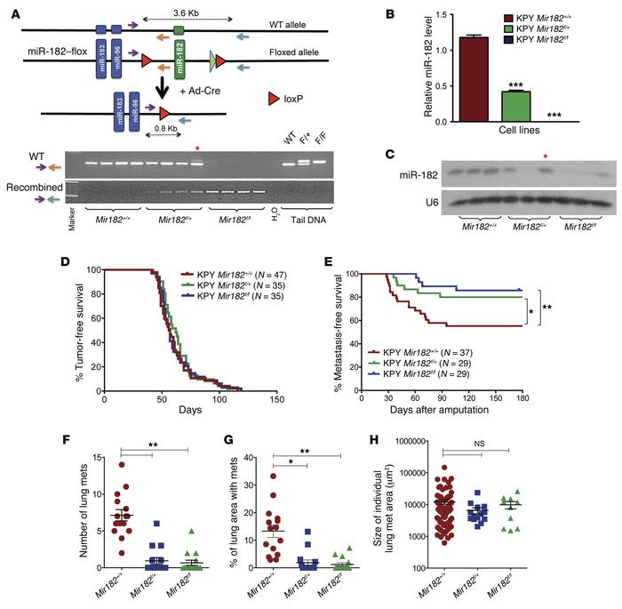 miR-182 deletion decreases the rate of sarcoma metastasis to the lungs. ...
