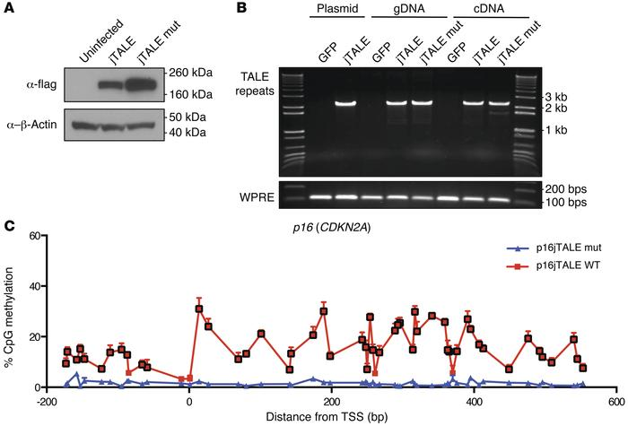 Minimizing direct repeats permits lentiviral expression of TALE fusion p...
