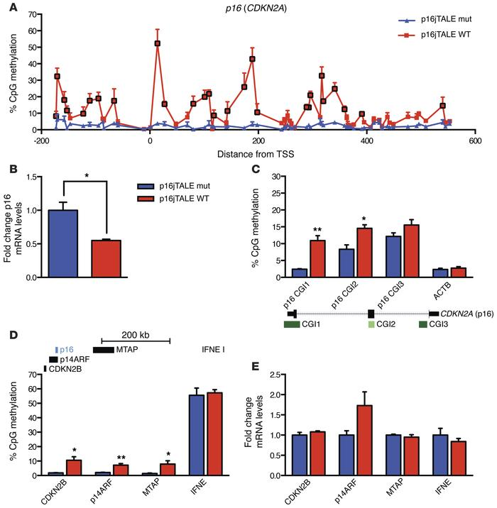 Targeted CpG methylation at the p16 (CDKN2A) locus results in decreased ...