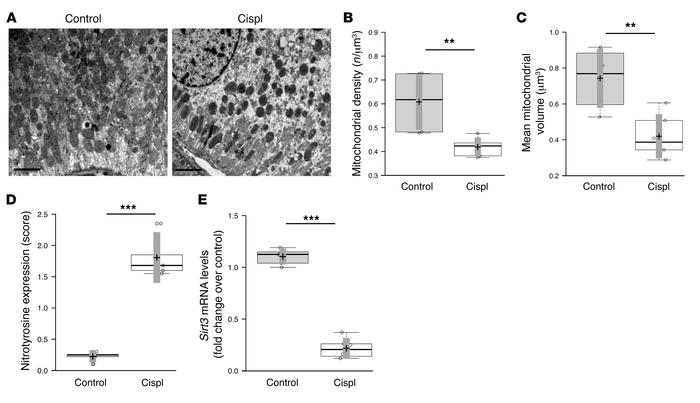 Mitochondrial dysregulation and SIRT3 expression in mice with cisplatin-...