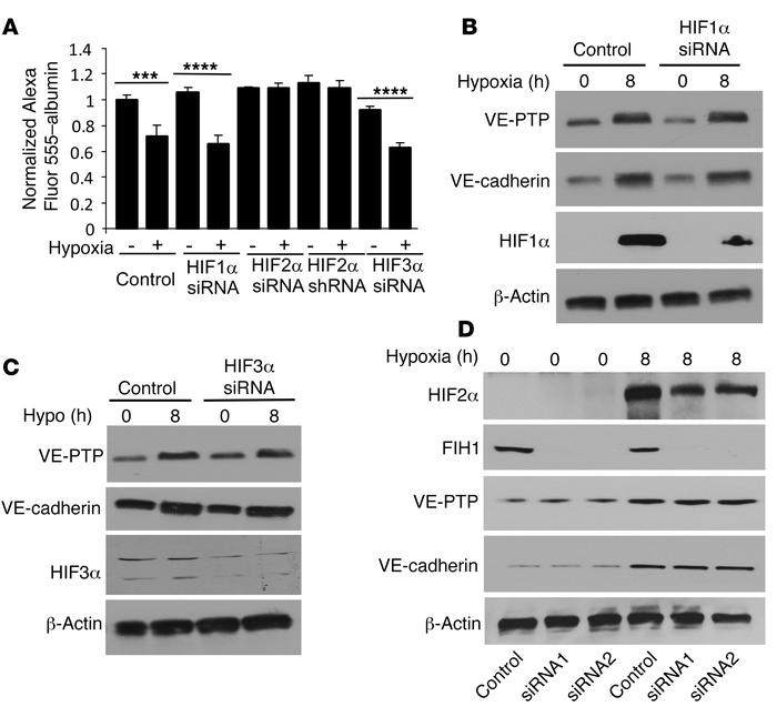 Hypoxia-induced stabilization of the endothelial barrier is mediated by ...