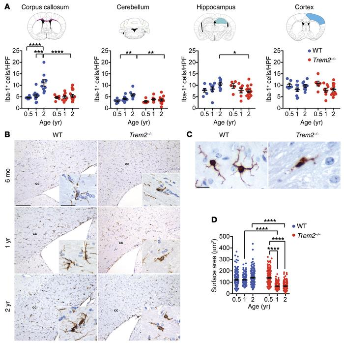 Trem2 deficiency affects aging-dependent expansion of microglia. (A) Mi...
